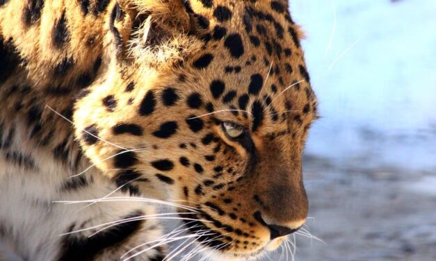 Leopard Counting Indore: Between online counting, cameras will be installed in the forest for tiger-leopard, ten places have been marked